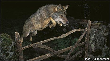 _47152368_wolf