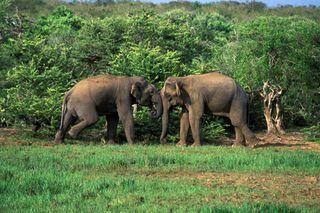 Srielephants